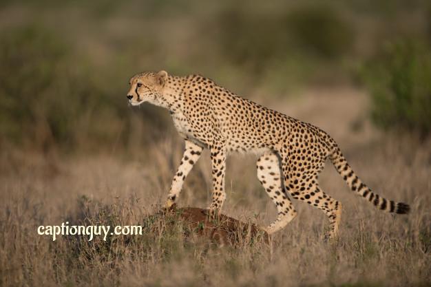 Cheetah Captions