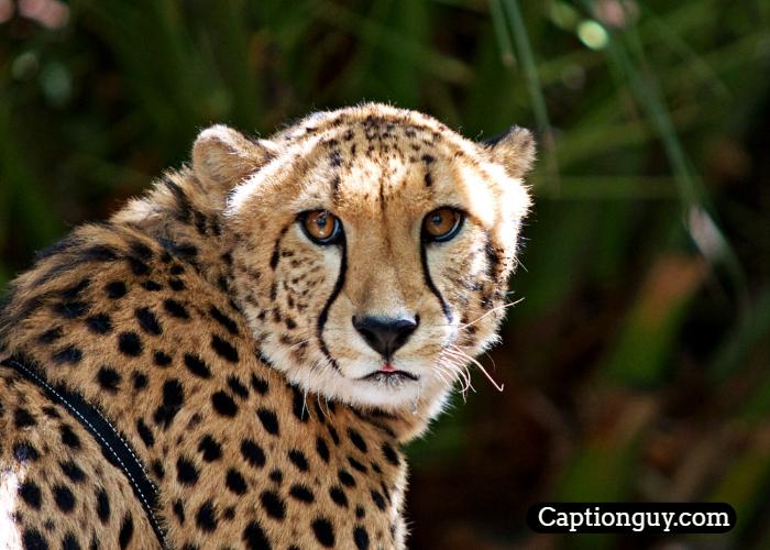 Cheetah Captions for Instagram